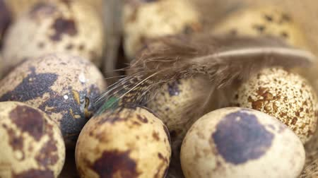 bird eggs : Uncooked quail eggs and bird quills on burlap cloth. Rotating and closeup
