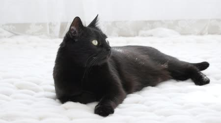 animal paws : Black cat relaxing on white knitted merino plaid