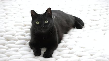 knitted : Black cat relaxing on white knitted merino plaid