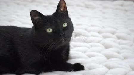 chunky : Black cat relaxing on white knitted merino plaid