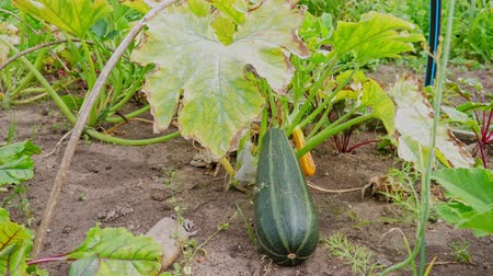kalebas : Courgette groeien in de tuin, close-up Stockvideo