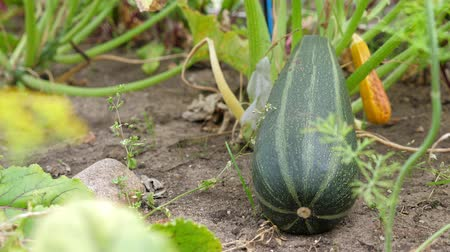 courgette : Courgette groeien in de tuin, close-up Stockvideo