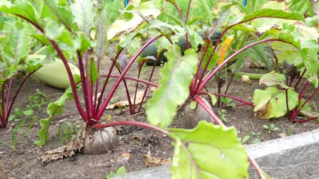 burak : Beetroot plants at the garden, nobody Wideo