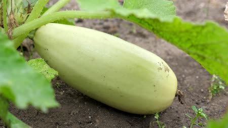 цуккини : Marrow squash growing at the garden, closeup