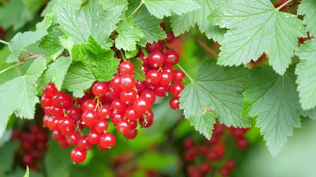 смородина : Red currant at the garden