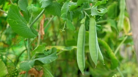 bezelye : Ripe green pea grow at the garden