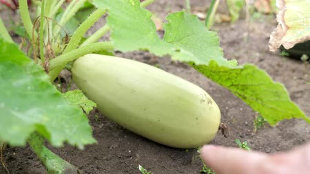 courgette : Pompoen groeien bij de tuin, close-up Stockvideo