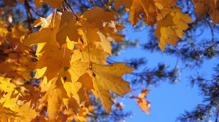 autumn : Yellow fall maple leaves on trees at the park Stock Footage