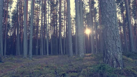 sunrise light : Forest with pine trees