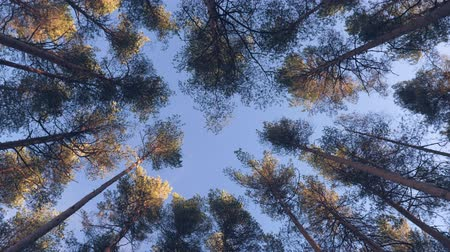autumn leaves : Top of pine trees in the forest Stock Footage