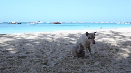 flea : Wild dog itching on the beach