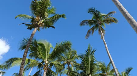 旅行の目的地 : Top of coconut palm trees on blue sky background 動画素材