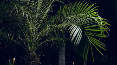 coconut palm tree : Palm tree leaves at the garden Stock Footage