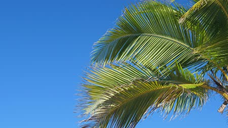 dominikana : Coconut palm tree on blue sky background Wideo