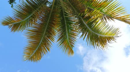pristine : Top of coconut palm trees on blue sky background Stock Footage