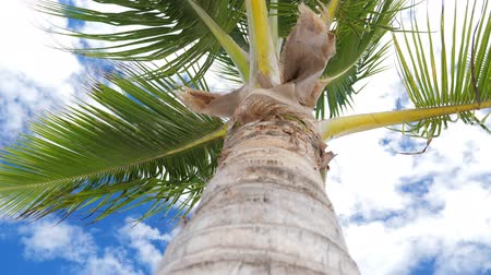 coconut palm tree : View from bottom on top of coconut palm tree with sky and clouds Stock Footage