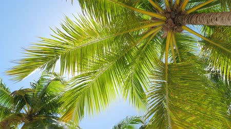 dominicano : Top of coconut palm trees caribbean island