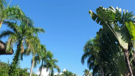 pristine : Top of coconut palm trees and thatched palapa roof on blue sky background Stock Footage
