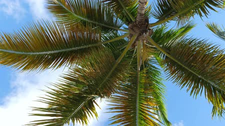 pristine : View from bottom on top of coconut palm tree with sky and clouds Stock Footage