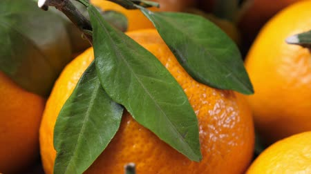 leafs : Pile of tangerines with green leaves