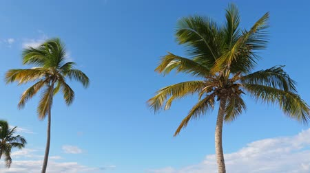 View from bottom on top of coconut palm tree with sky and clouds Stock Footage