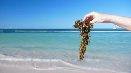 algi : Woman holding sargassum seaweed on tropical beach