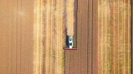 кукуруза : Aerial drone shot of a modern combine harvester working day in a big wheat field. Harvesting. From top to bottom. Стоковые видеозаписи