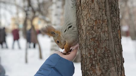jardim zoológico : Squirrel eating nuts in the Park from the hands of man
