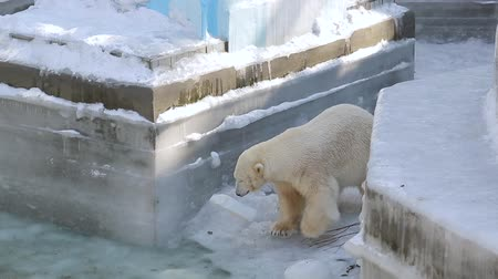 greenpeace : Polar bear playing with canister at the zoo Stock Footage