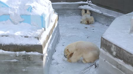 imprisonment : Polar bear playing with canister at the zoo Stock Footage