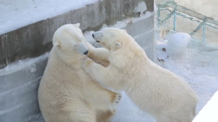 antarktyda : Polar bear playing with canister at the zoo Wideo