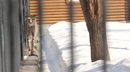 greenpeace : Cheetah walks on snow-infected enclosure at the zoo