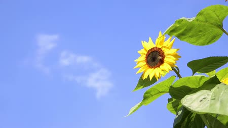 girassóis : Sunflower with a bee in front of an blue sky Vídeos