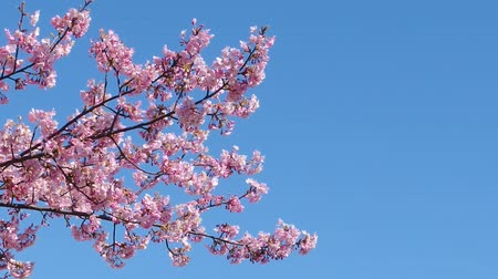 Japanese pink cherry blossom sakura tree moving along the wind on spring season.