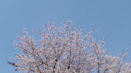 Japanese cherry blossom Sakura tree moving along the wind on spring season.