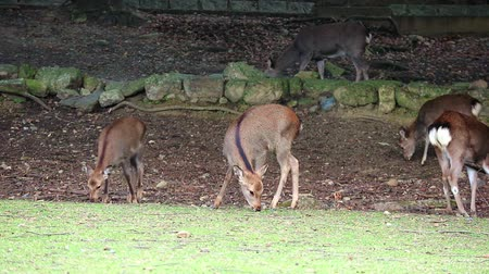 Japanese wild friendly cute deer eating dry grass at Nara national public park motion footage. Wideo