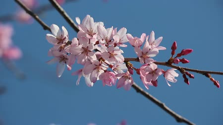 Japanese pink cherry blossom Sakura branch tree moving along the wind on spring season. Wideo