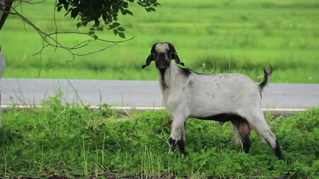 young goats eating green leaves and grass. Wideo