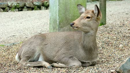 Japanese wild friendly cute deer sitting and resting at Nara national public park footage. Wideo