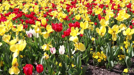lehet : Red and yellow tulips on a sunny day in Philadelphia