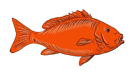 японский рисунок : 2d Animation motion graphics showing drawing sketch style illustration of an Australasian snapper, silver seabream, Pagrus auratus, a species of porgie found in coastal waters of Australia, Philippines, Indonesia, China, Taiwan, Japan and New Zealand swim