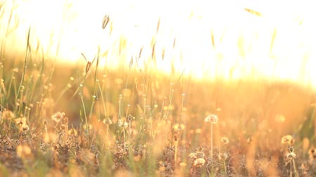 ventoso : Field of grass during sunset