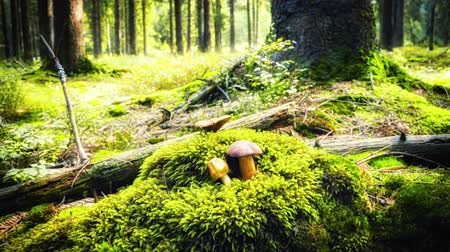 mossy forest : Autumn forest with growing mushrooms. Slider shot, full HD, 1080p Stock Footage