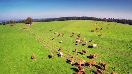 pecuária : Aerial view of summer countryside with grazing cows. Full HD, 1080p