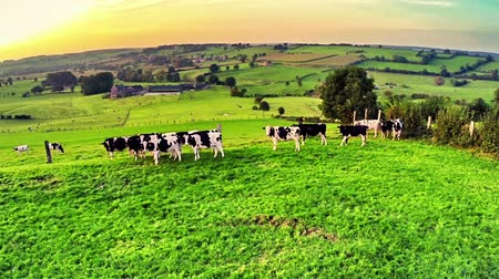 dairy animal : Flying over green field with grazing cows. Full HD, 1080p