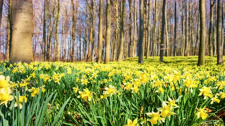 springtime : Walking in the spring forest covered by yellow daffodils. 4K, Ultra High Definition, Ultra HD, UHD, 2160P, 3840 x 2160