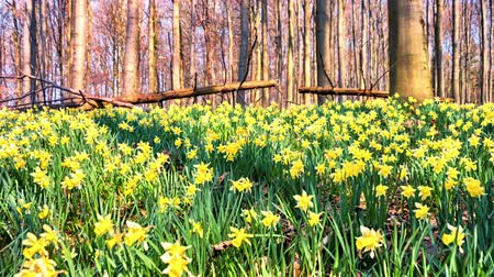 Walking in the spring forest covered by yellow daffodils. Full HD, 1080p