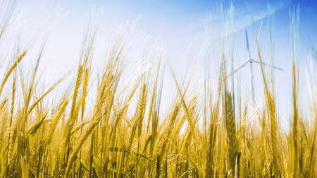 Closeup of golden wheat field and wind turbine. Ecology background. Full HD, 1080p Stock Footage