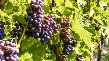 Organic grape on vine branches. Full HD, 1080p Stok Video