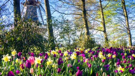Beautiful spring park covered by tulips. Panoramic view, full HD, 1080p Stok Video